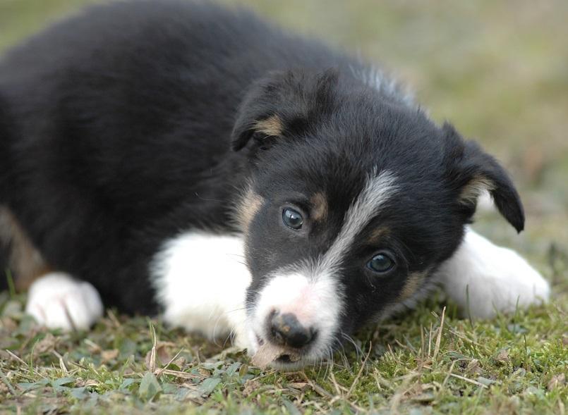 cucciolo tricolore